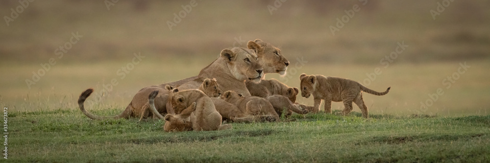 Fototapeta Panorama of two lionesses lying with cubs