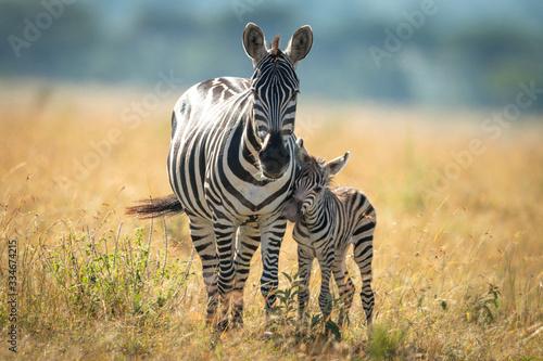 Fotografie, Obraz Plains zebra and foal stand facing camera