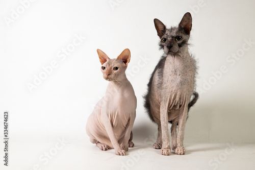 Studio sphynx and Lykoi Canvas Print