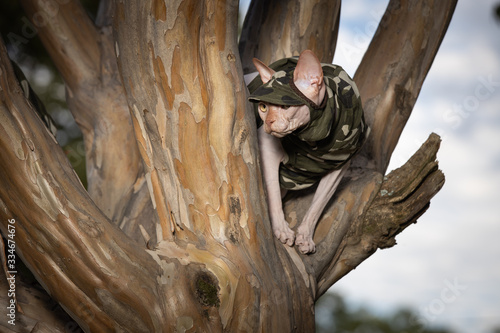 Photo Sphynx in tree