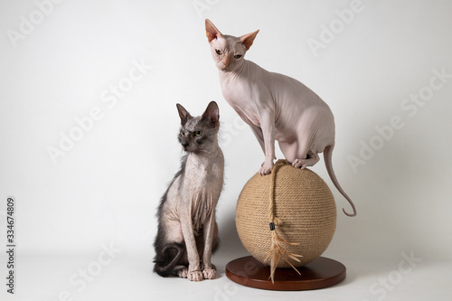 Sphynx and Lykoi on ball Canvas Print
