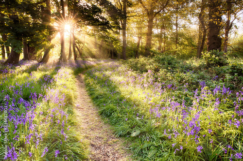Sunrise over bluebell covered woodland Canvas Print