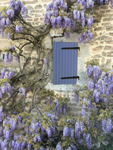 Flowering Wisteria On A Wall