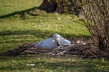 Swan Brooding On Eggs, Bruges, Belgium