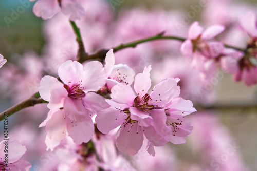 Fototapeta beautiful spring landscape - blooming trees, bright pink and white flowers as background obraz na płótnie