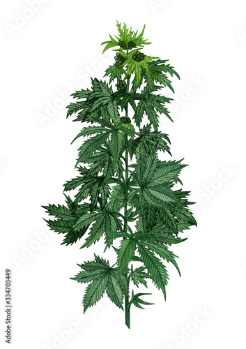 Photo Watercolor hemp plant with leaves and seeds
