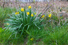 A Bunch Of Self Seeded Yellow Daffodils