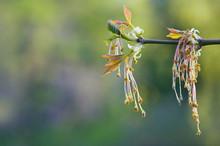 Male Flowers Of Box Elder (Ace...