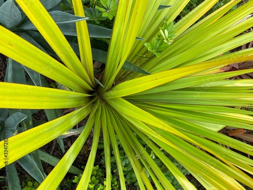 Top down view of a yellow and green leaved palm plant. Billede på lærred