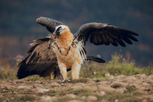 Bearded Vulture Portrait Of Ra...