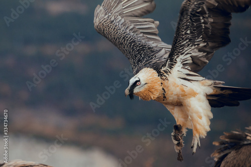 Bearded Vulture or Lammergeier, Gypaetus barbatus, flying bird above rock mountain Wallpaper Mural