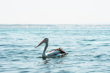 Pelican Peacefully Floating On...