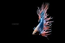 Guppy & Betta Fish Colorful Co...