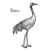Crane Bird Sketch. Gruidae Animal With Feather