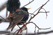 Common Starling On Snow, Sturn...