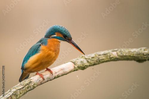 Vászonkép Common Kingfisher (Alcedo atthis)
