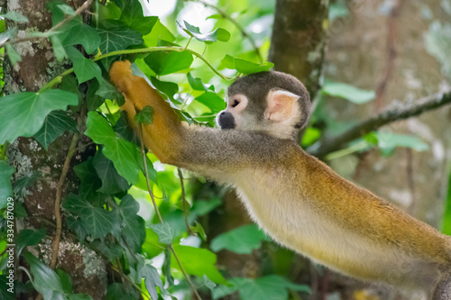 Common Squirrel Monkey Reaching For Food Canvas Print