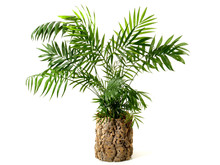 House Palm In A Cork Flower Pot Isoladet On White Background
