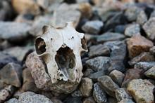 Authentic Animal Skull On Stones
