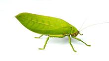 Leaf Mantis Isolated On White ...