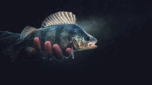 A Beautiful Perch In The Hand Of A Fisherman. On A Black Background.