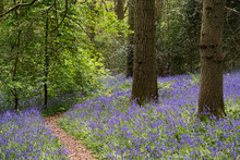 Bluebells In Staffhurst Woods ...