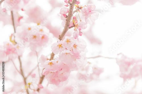Photo 西光寺の桜
