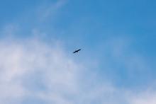 Black Kite Flying Against The Blue Sky