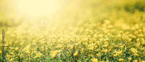 Obraz Closeup flower of daisy blossom in spring. Banner and background of spring flowers and pollination concept. - fototapety do salonu