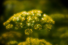 Inflorescences Of Dill With Dr...