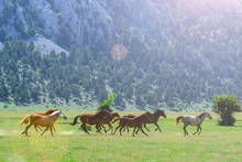 Galloping Wild Horses In Nature