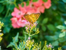Beautiful Yellow Butterfly With Black Dots On A Pink Flower With Coral Flower In The Background.