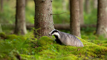 Adult European Badger, Meles M...