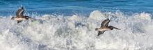 Brown Pelicans Flying Low Abov...