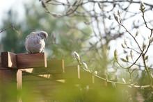 Eurasian Collared Dove (Strept...