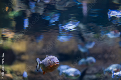 Predatory fish of piranha in the natural environment of encirclement Wallpaper Mural
