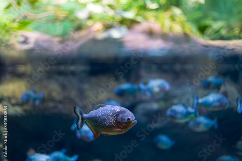 Predatory fish of piranha in the natural environment of encirclement Canvas Print