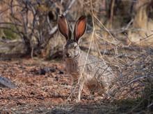 White-tailed Jack Rabbit Sitti...