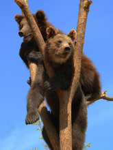 Adult Brown Bears Playing And ...