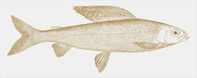 Michigan Grayling, Thymallus Tricolor, An Extinct Freshwater Fish From North America In Side View