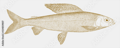 Obraz na plátně Michigan grayling thymallus tricolor, an extinct freshwater fish from north amer