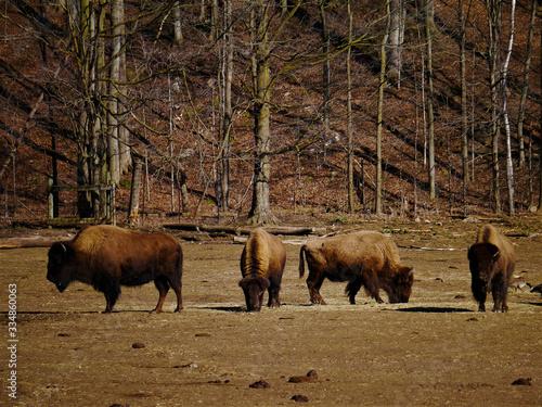 Fényképezés bison