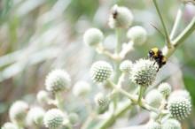 A Close-up Of A Bumblebee Perc...