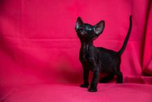 Cornish Rex Black Kitten (dark...