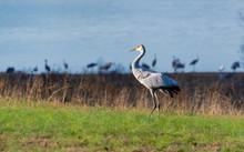 Sandhill Crane Foraging In Farm Fields In Birchwood Tennessee Hiwassee Wildlife Sanctuary.