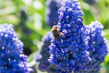 Bee On Fragrant Muscari Flowers