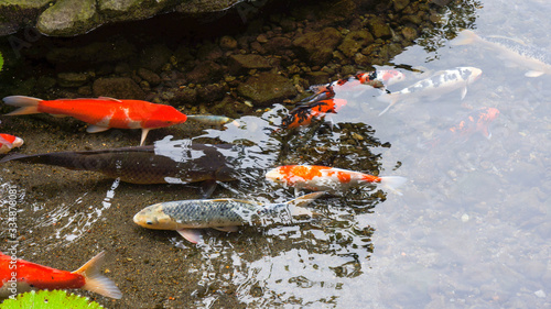 Fotografiet Koi fish in the pond