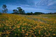 Black-eyed Susan Native Wildflowers Blooming En Masse On A Midwest Summer Prairie.