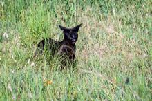 Rare Melanistic Serval Stalking In Tall Grass, Serengeti National Park, Tanzania