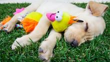 Filhote De Cachorro Dormindo A...